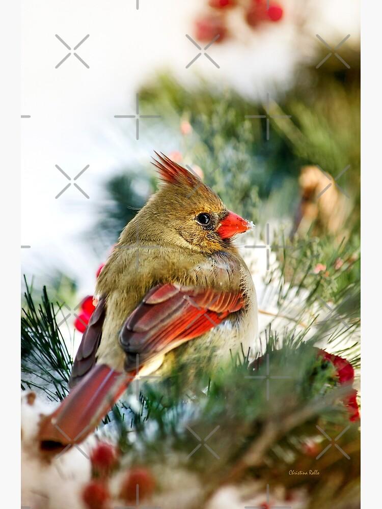 Female Cardinal by rollosphotos
