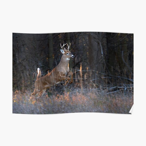 Buck Jump - White-tailed deer Poster