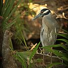 Yellow Crowned Night Heron by KatsEyePhoto