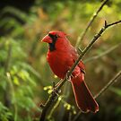 Cardinal by KatsEyePhoto