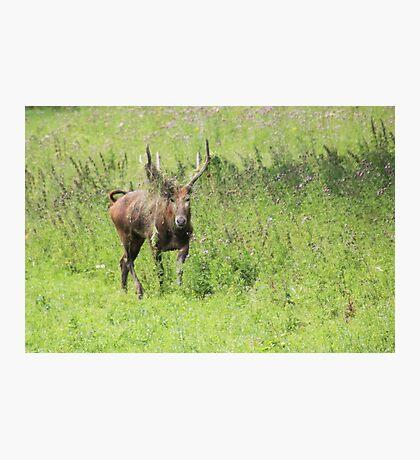 Père David's Deer Photographic Print