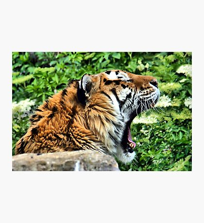 AMUR TIGER ~ Endangered Photographic Print
