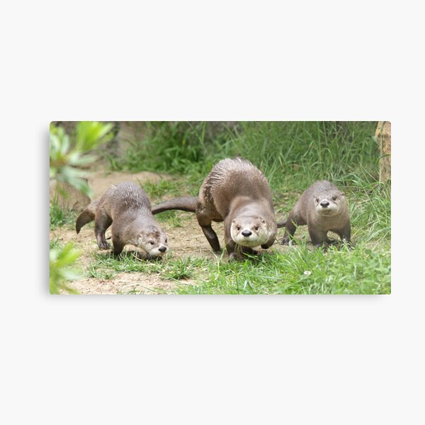 Otters together Metal Print