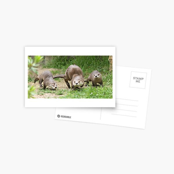 Otters together Postcard