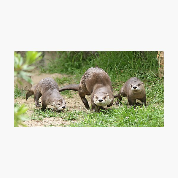 Otters together Photographic Print
