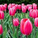 Pink and White Tulips by Gary Chapple