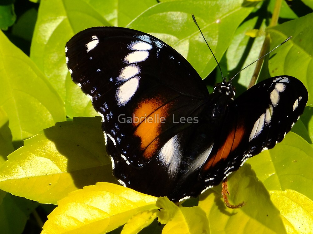 Female Varied Eggfly Butterfly by Gabrielle  Lees
