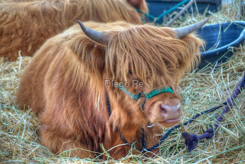 Hairy Cow by Diego Re