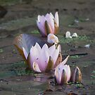 lotus in row by LisaBeth