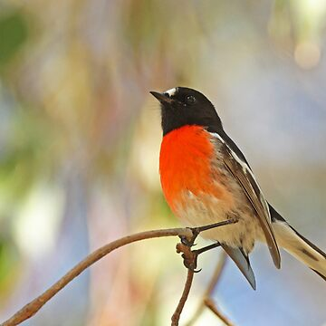 Male Scarlet Robin by Hawker