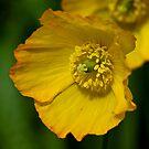 Yellow Poppy Flower by Dhruba Tamuli