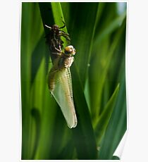 Dragonfly emerging from its nymph case Poster