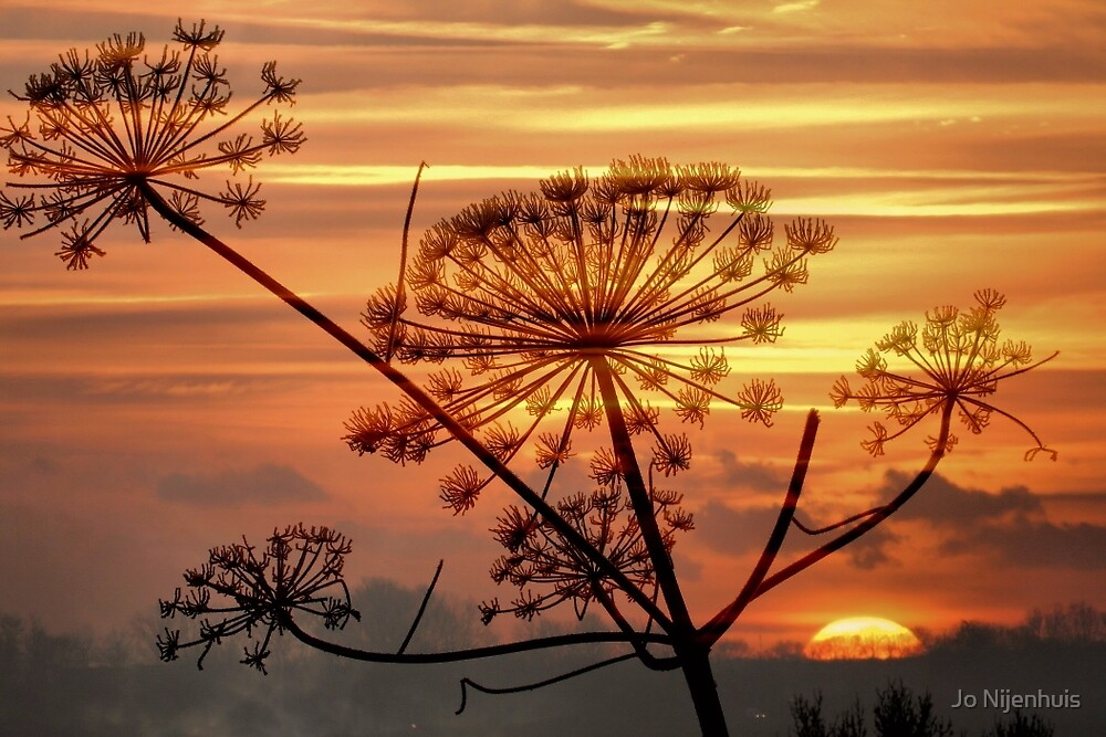 Hogweed Winter Sunrise #1 by Jo Nijenhuis