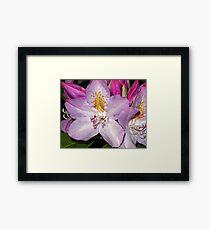 Rhodie Blossoms Framed Print