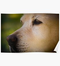 Labrador Muzzle Poster