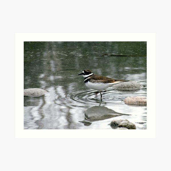 Killdeer - at waters edge - Penn Lake Park - Marathon Ontario Canada Art Print