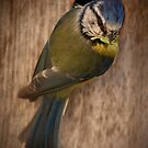 Blue Tit by Rob Lodge