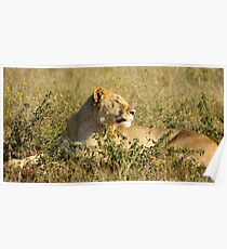 The Lions of Madikwe Poster