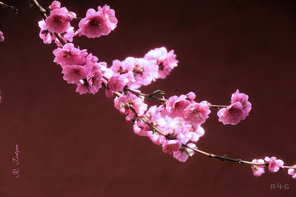 Peach Blossoms by R-4-G