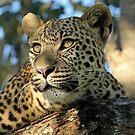 Botswana Leopard by jozi1
