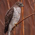 Broad-winged Hawk by naturalnomad