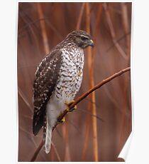 Broad-winged Hawk Poster
