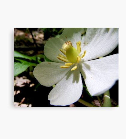 Mayapple Flower Canvas Print