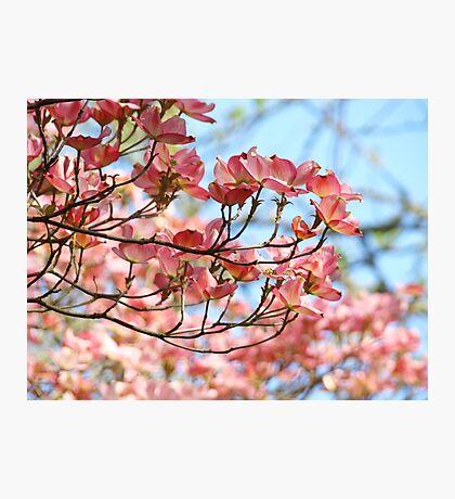 Dogwood Tree Flowering Pink Dogwood Flowers Baslee Photographic Print