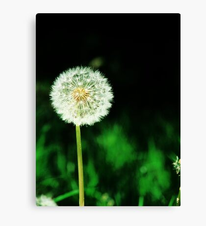 Dandelion Seeds  Canvas Print