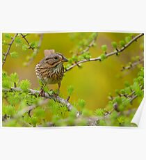 Lincoln's Sparrow on Tamarack Poster
