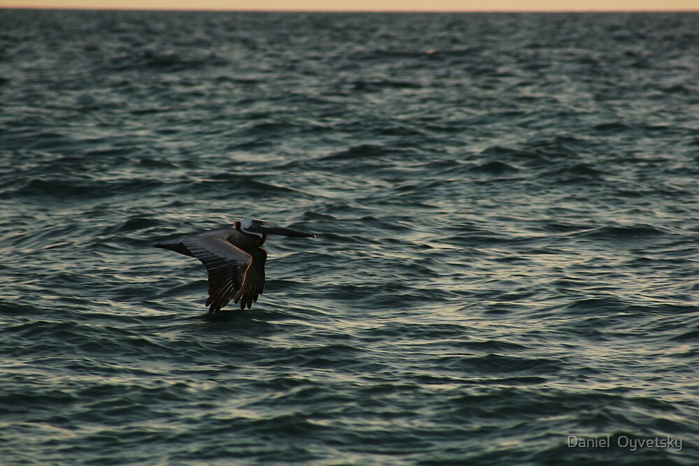 Pelican in Motion - Casey Key Island - FL May 2011 by Daniel  Oyvetsky