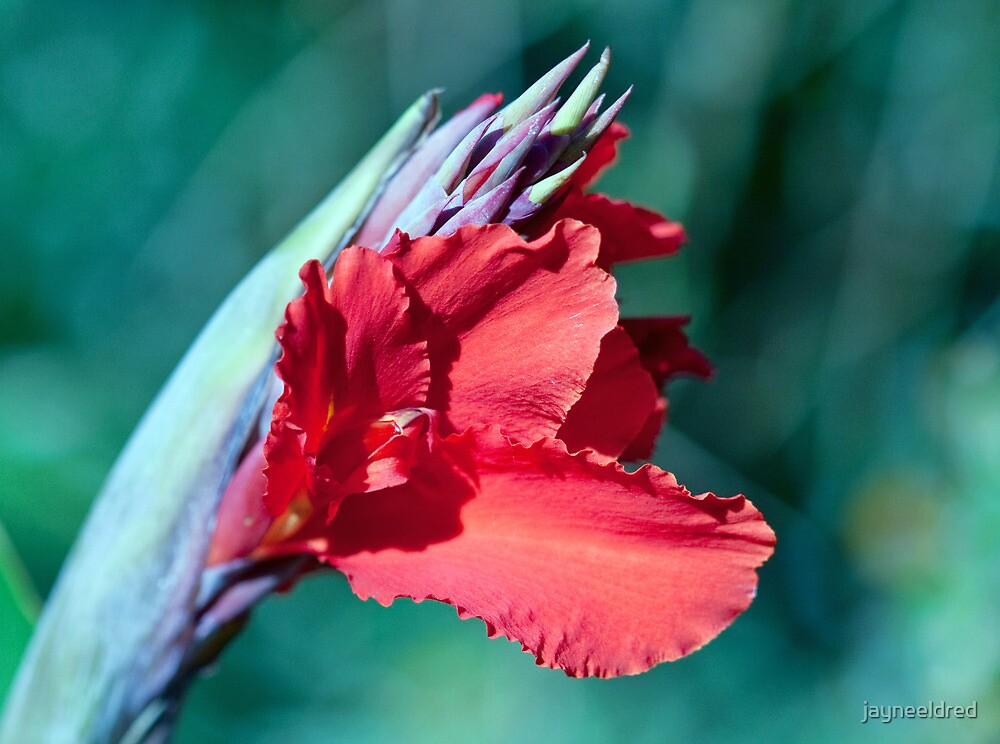 Canna Lily Show Off by jayneeldred