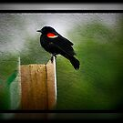Red Winged Black Bird by Angie O'Connor
