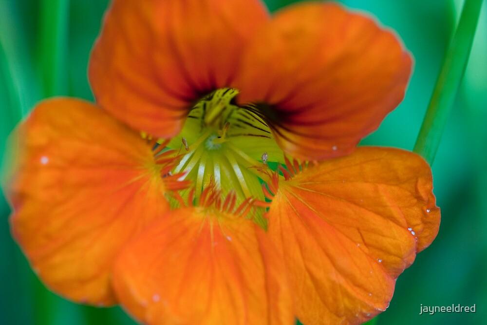 Brilliant Nasturtium by jayneeldred