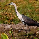 White-necked Heron by naturalnomad