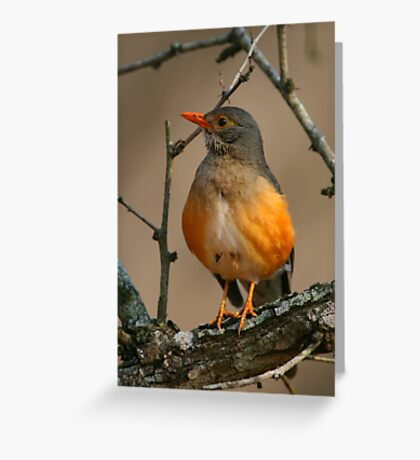 Kurrichane Thrush Greeting Card