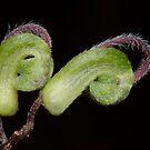 Green Spider Flower - Grevillea mucronulata by Andrew Trevor-Jones
