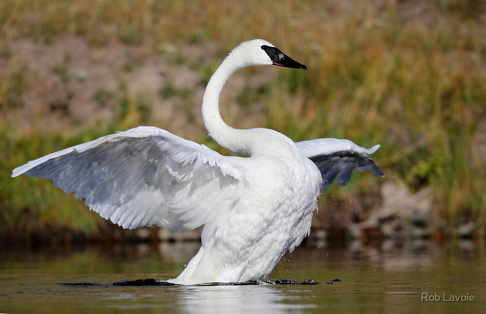 Trumpeter Swan by Rob Lavoie