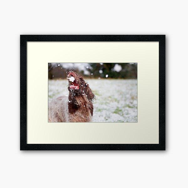Snow ball Spinone Framed Art Print