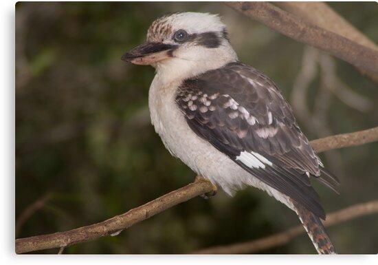 Kookaburra looking  by Danny Waters