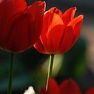Tulip in sunshine lighting by Antanas