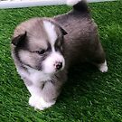 Pomsky Puppies Breed by serenablanks01