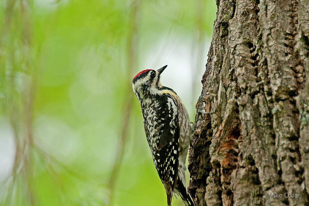 Yellow-Bellied Sapsucker (Sphyrapicus varius) by Mike Oxley