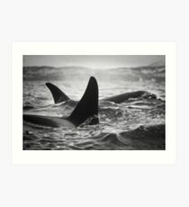 Orca Crossing - Tysfjord, Norway Art Print