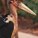 Marabou stork by Ingrid *
