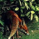 Mr Fox on the prowl by Deborah Durrant