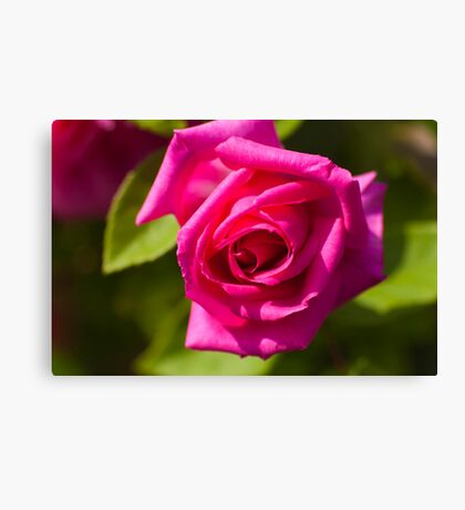 Pink Scented Rose Canvas Print