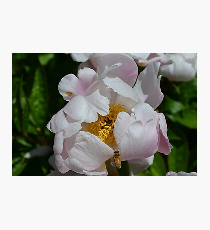 Bee flying into a white peony Photographic Print