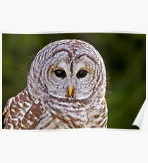 Teddy....Barred Owl Poster