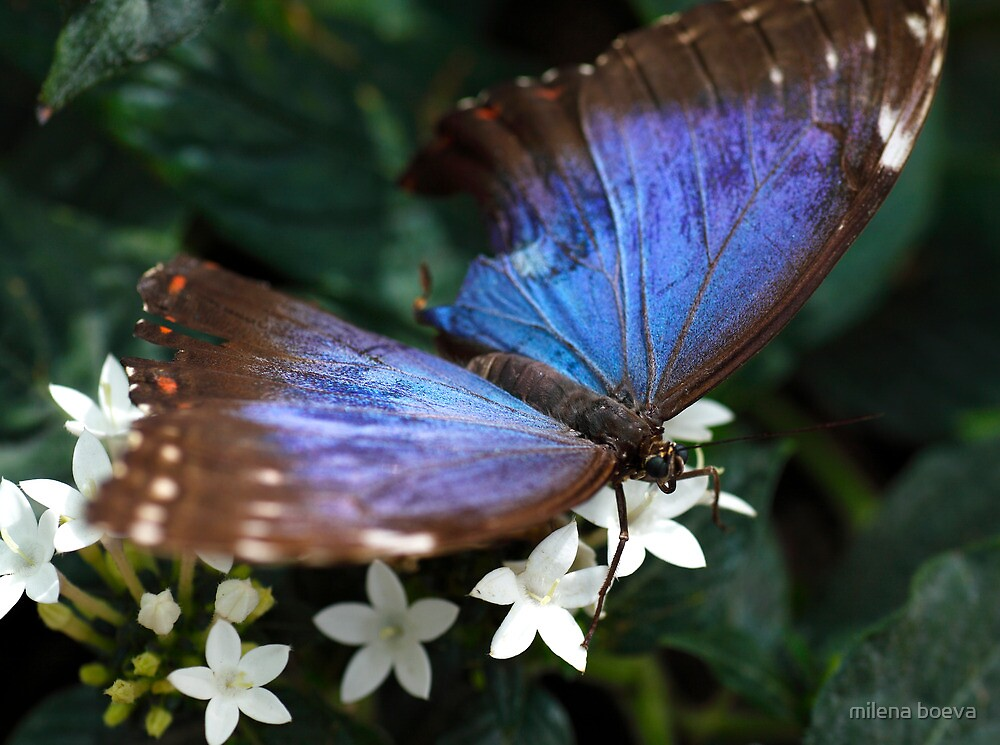 blue butterfly by milena boeva